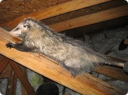possums in the attic